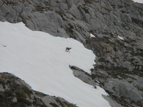 deer on a glacier against slate grey land