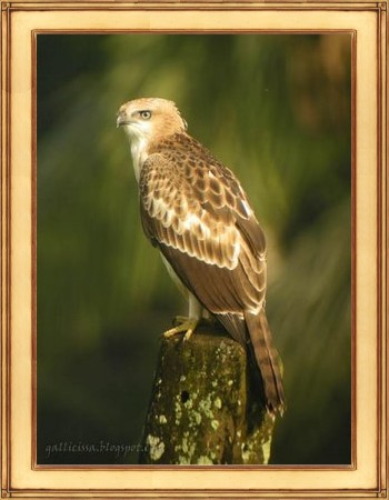 Gallicissa-hawk