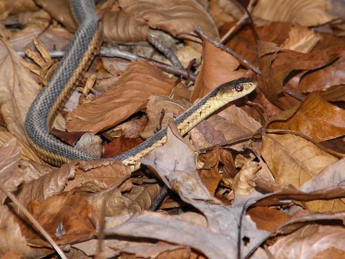 Eastern Garter Snake (Tamnophis sirtalis sirtalis)