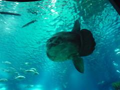 Pesce Luna - Mola mola (Oceanário)