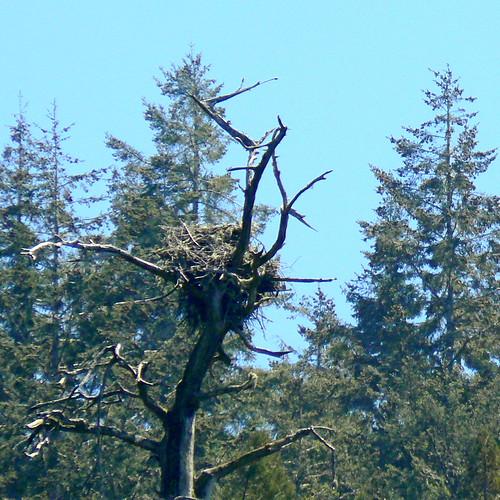 Osprey nest on Albion River