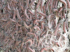 red worm colony