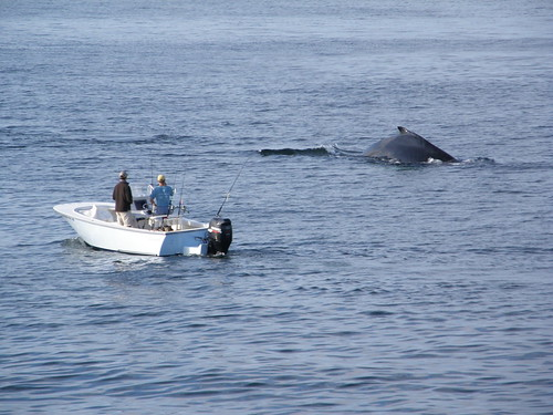 Ballena jorobada / Humpback whale (Megaptera novaeangliae)