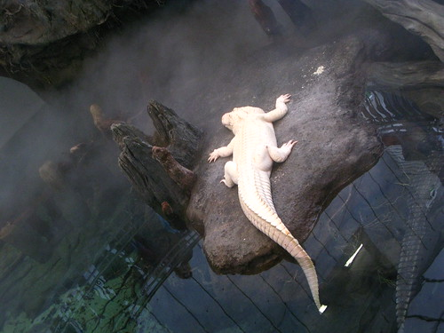 Albino Alligator. Or is it a crocodile???