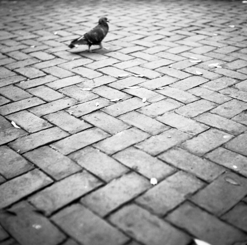 pigeon walking across brick