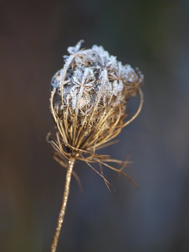 Queen Anne with Frosty Lace