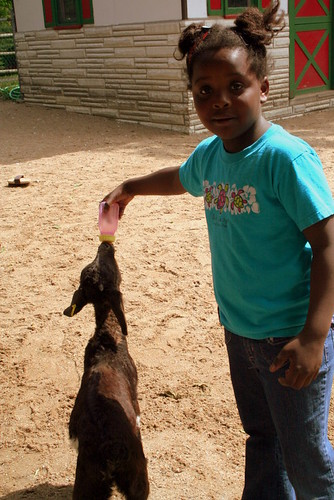 Calise feeding Goats
