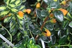 Goldfish plant at U.S. Botanic Garden
