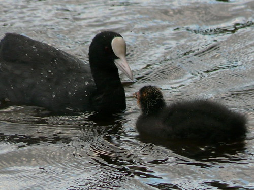 Coot mother and daughter