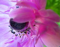 Last anemone
