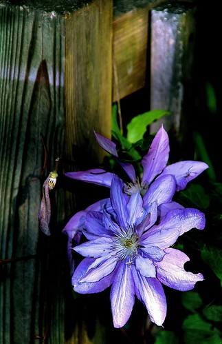 Clematis on the Fence