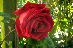 080531-rose495