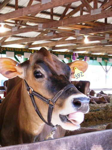 This cow had some crazy tongue action going on.