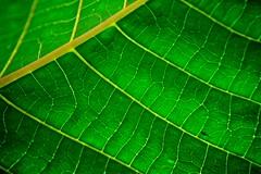 Chlorophyll Texture