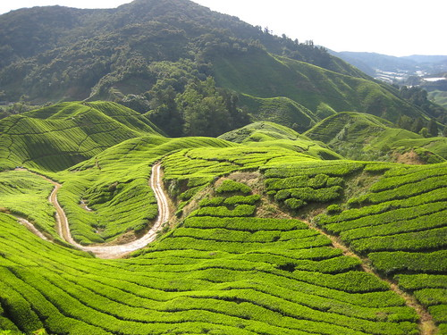 Cameron Highlands Tea Fields