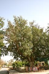 Zacchaeus Tree