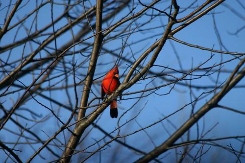 cardinal in november