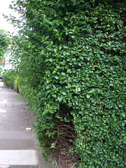 row of hedges 1