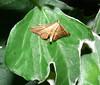 Moth on ivy