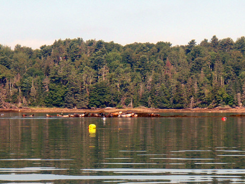 Seals on the Johns River, Maine