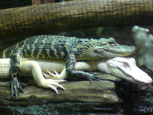 Friendly Gators