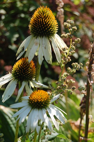 white coneflowers in my front yard