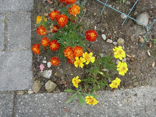 Street marigolds