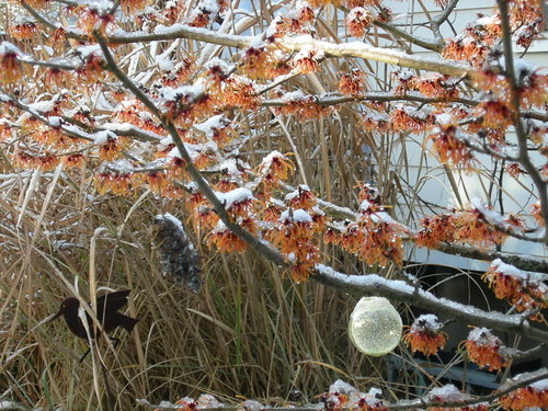Snow-dusted witch hazel flowers in winter