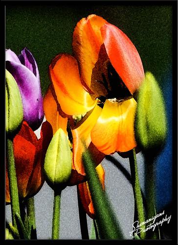 tulipwatercolor
