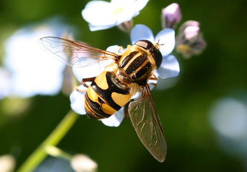 Flower (Syrphid) Fly, Helophilus fasciatus