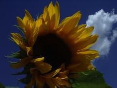 windy sunflower