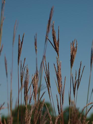Big Bluestem Grasses