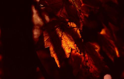 Glowing Leaves. (Fuji Velvia 100F. Nikon F100. Epson V500.)