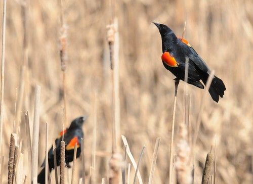 Redwinged Blackbirds
