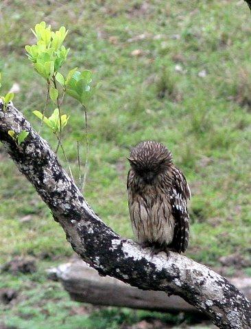brown fish owl k gudi 170308