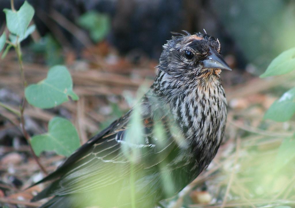 molting juvenile redwinged blackbird