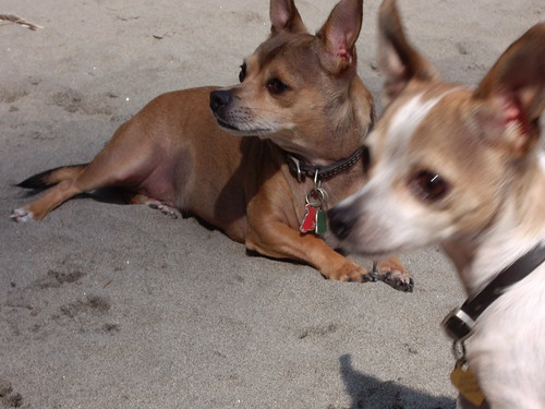 Chihuahua brothers enjoy the beach