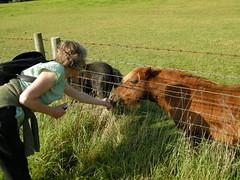 Feeding a Shetland pony