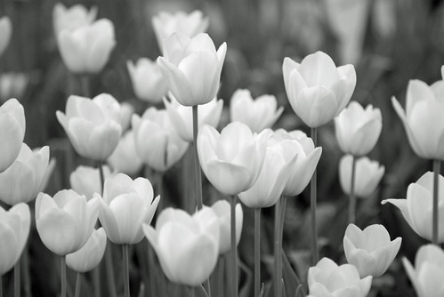 tulips, istanbul tulip festival, istanbul , pentax k10d