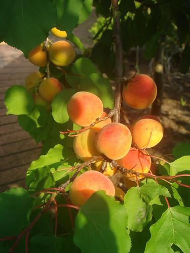 apricot 5 杏桃