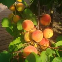 快樂的採桃記_杏桃(Apricot)