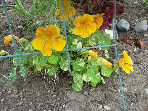 Nasturtiums in jail