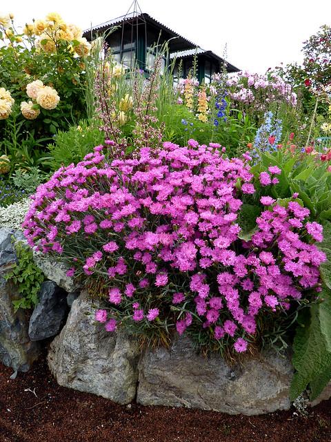 dianthus pinkerton purpleton