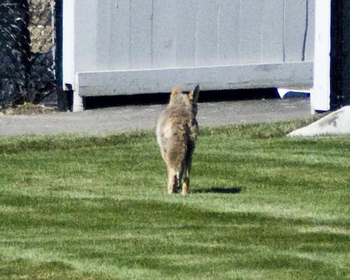 coyote7