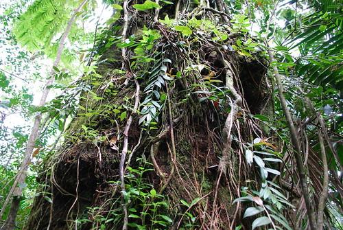 A big tree (?), El Yunque