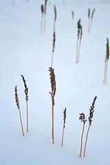 Sensitive Fern Stand in Winter