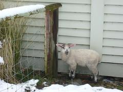 Little Lamb Lost