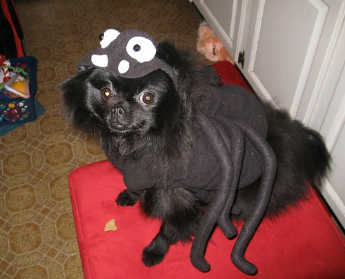 India the pomeranian in her Spider costume