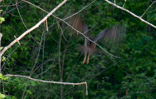 Barred Owl-30.jpg