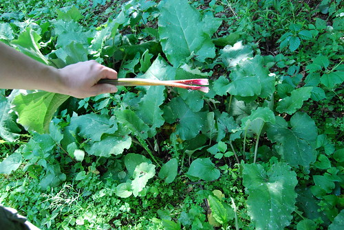 This is what wild rhubarb looks like